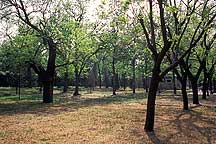 Picture of 天坛公园 -- 树 Tiantan (Temple of Heaven) Park -- Tree